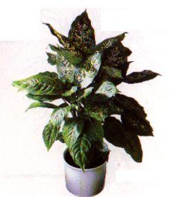 Die sch nsten zimmerpflanzen der welt zimmerpflanze - Hohe zimmerpflanzen ...