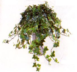 die sch nsten zimmerpflanzen der welt zimmerpflanze. Black Bedroom Furniture Sets. Home Design Ideas