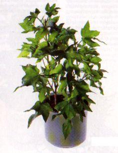 Efeu Zimmerpflanze die schönsten zimmerpflanzen der welt zimmerpflanze pflanze blumen