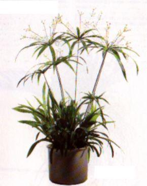 Zimmerpflanzen pflanzen zyperngras papyrusstaude cyperus for Dekorative zimmerpflanzen